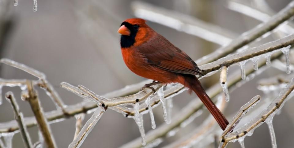 cardinal-e1416237240533