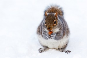 squirrel-in-snow-11298746798ZJv